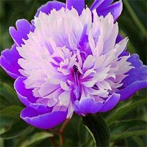 5 Sorten chinesischer Pfingstrose/Pfingstrose Garten blumen Pfingstrosen pflanzen winterhart Freilandpflanzen / 2 Rhizom-5