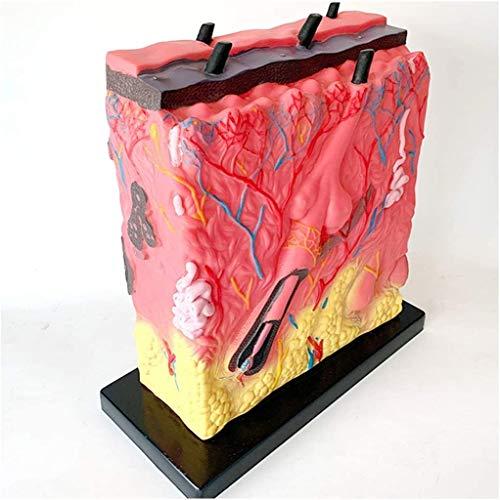 LBYLYH Modelo Educativo Magnificado 105 X Modelo anatómico de la Piel Humana Modelo de la Piel Material de PVC Médico