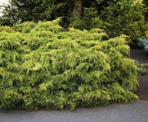 Pianta di Juniperus X Pfitzeriana Pfitz Aurea in vaso ø16 cm