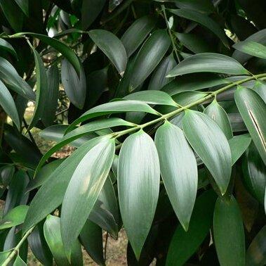 Bureau de l'arbre mini bonsaï Nageia graines, graines de fleurs, houseplants Lucky Bamboo 5 graines
