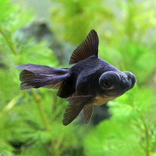 (国産金魚)出目金(デメキン)黒(3匹) 本州・四国限定[生体]