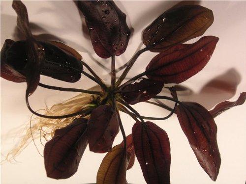 Aquarium Fan Kirschrote Schwertpflanze/Echinodorus Aflame x 2 Pflanzen
