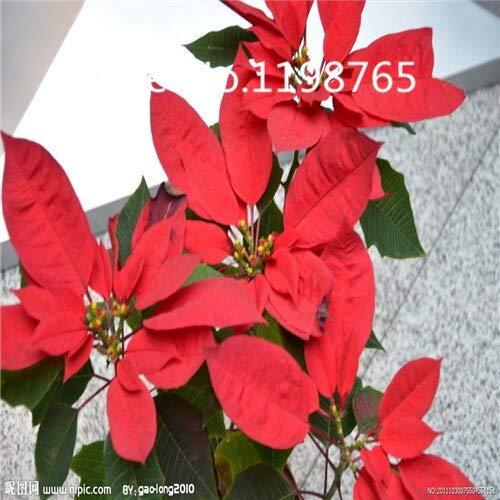 Negro: ¡Promoción de precio especial!100 semillas de flor de pascua 10 tipos de empaque mixto, semillas de flores de alta germinación jardín bricolaje floración perenne