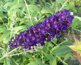 Butterfly Bush - Buddleia - Black Knight - Hardy Perennial