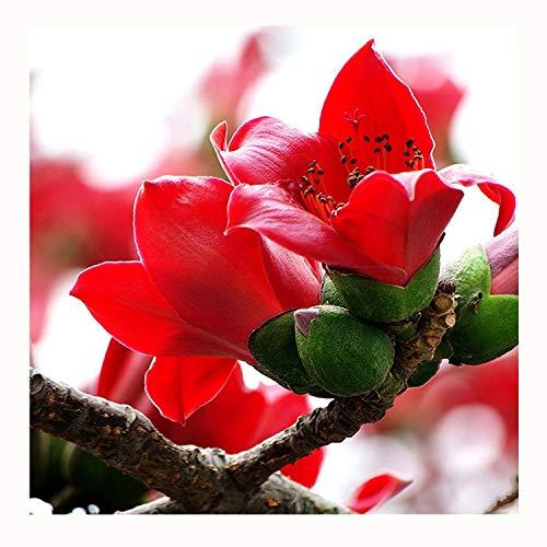 20 Kapok Bombax Ceiba Große Laubbäume Samen ~ Chris Garten
