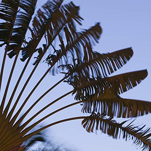 CFPacrobaticS 20 Stück Seltene Tropische Mehrjährige Fächer Palmen Cycas Baum Samen Leicht Wachsen, Home Farm Hof Pflanzen, Dekoration Garten Geschenke Palmensamen 20 Stück