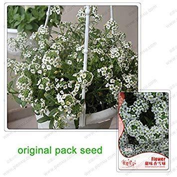 Vistaric 70 graines/paquet, Sweet alyssum, saveurs de boule de neige blanche, plantes en pot de jardin parfumées Hornsey ball, graines de fleurs