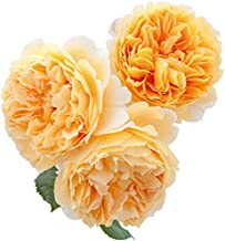 100 Pcs Climbing Colorful Rose Flowers Seeds For Garden Home Balcony Fences Yard Decoration Flowers Plants (Rosa Crown Princess Margareta Seeds)