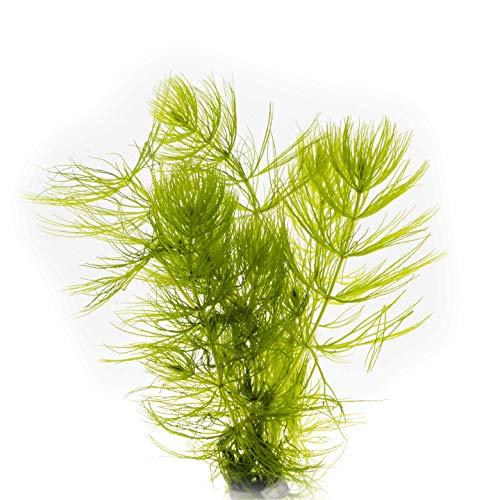 AQ4Aquaristik 1 Portion Hornkraut, Hornblatt, Ceratophyllum demersum, Wasserpflanze für Urzeitkrebs Becken, Teich und Aquarium, anspruchslos und schnellwüchsig