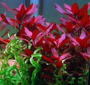 WFW wasserflora XL In-Vitro Rubinrote Ludwigie - sp. 'Weinrot'/ Ludwigia repens Rubin