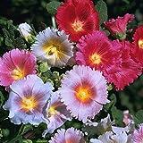 500 Stücke Indian Springs Stockrose Blumensamen Doppel Alcea Rosea Blumensamen