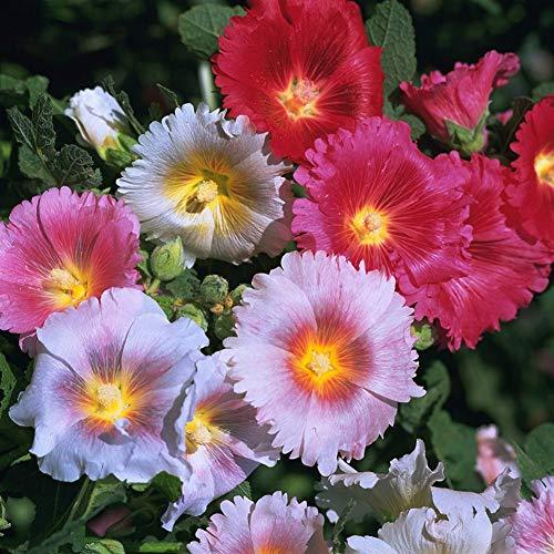 LoveAir Indian Springs Stockrose Blumensamen Pflanzenmischung Hell Pin Dunkelrosa Magenta Blüten