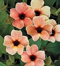 Cicitar Garden - 100pcs Rare Black-Eyed Susan Vine Thunbergia, Easy to Grow, Exotic Flower Seeds Hardy Perennial Garden