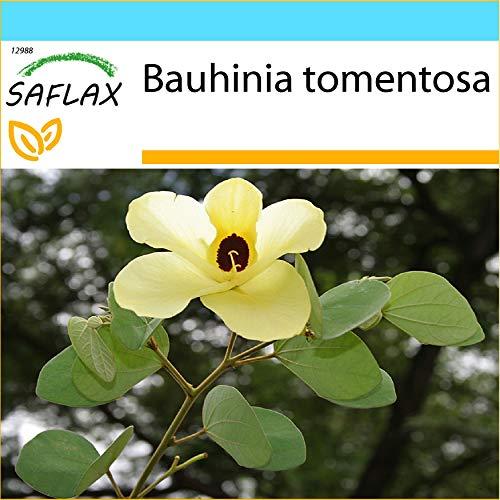 SAFLAX - Kit cadeau - Arbre aux tulipes - 30 graines - Bauhinia tomentosa
