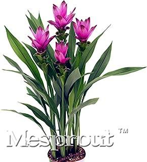 curcuma plant for sale
