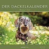 Der Dackelkalender 2021 - Bild-Kalender 33x33 cm - Dachshunds - Tierkalender - Wandplaner - Alpha Edition