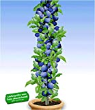 BALDUR Garten Säulen-Pflaumen 'Black Amber', 1 Pflanze, Prunus domestica Säulenobst winterhart Zwergobstbaum