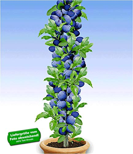 BALDUR Garten Säulen-Pflaumen \'Black Amber\', 1 Pflanze, Prunus domestica Säulenobst winterhart Zwergobstbaum
