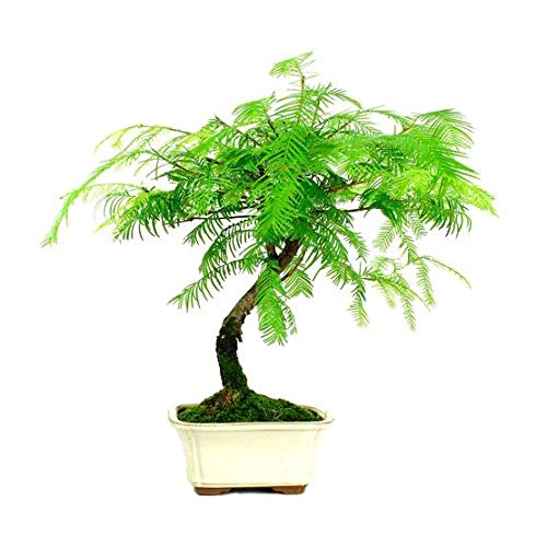 Bonsái Metasequoia sp.de 7 Años Metasecuoya Árbol Planta Natural