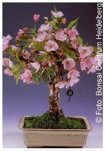 TROPICA - Cerisier du Japon (Prunus serrulata) - 30 graines- Bonsai