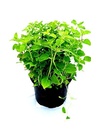 Majoran Origanum majorana, Kräuter Pflanze