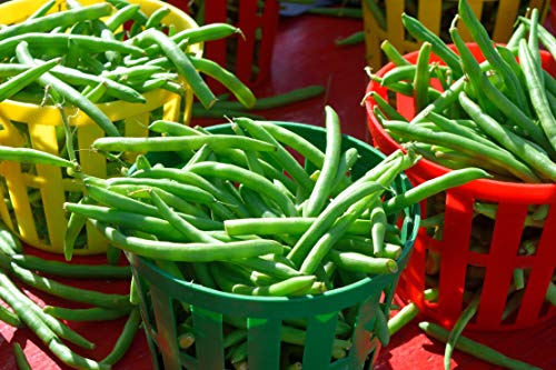 blue lake pole beans - 9