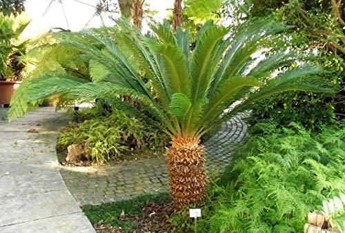 Cycas Revoluta Cicas Palma in vaso ø24 cm h. 70 cm