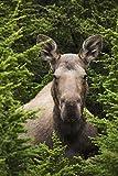 Moose Cow Moose Bedded Down Amongst Hemlock Boughs,