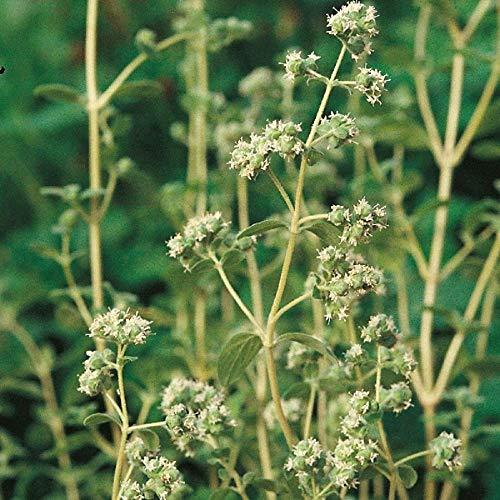 Suffolk Herbes - marjolaine douce Bio - 750 graines