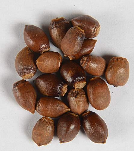 Eibe Taxus baccata 15 Samen