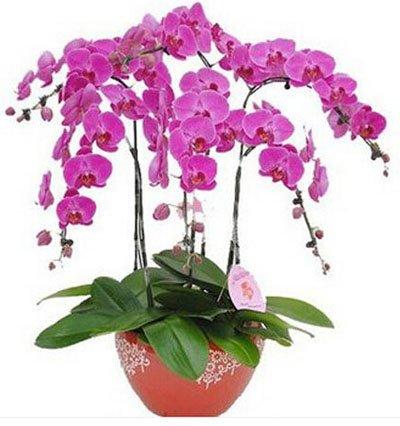 Fleur exotique Orchidée Graines Cattleya Multicolor Papillon Orchidee Bonsai Monoflord Mini jardin plante facile à cultiver 200 pcs/sac