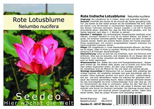 Seedeo® Rote Indische Lotusblume (Nelumbo nucifera) 7 Samen