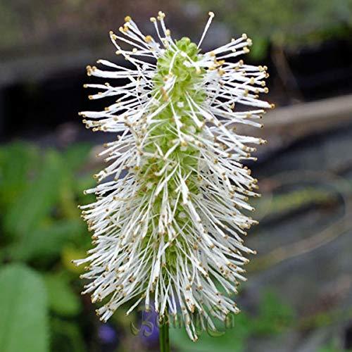 4 x Sanguisorba Canadensis - Pimpernel pot 9cm x 9cm