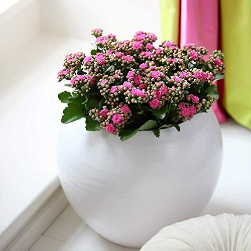 Pflanzen Kölle Flammendes Käthchen, Kalanchoe blossfeldiana 'Calandiva', rosa, Topf 12 cm, Höhe ca. 26 cm