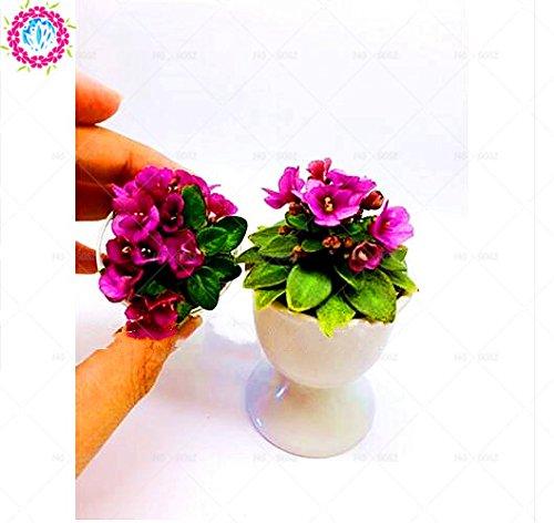 100pcs couleurs mélangées Mini Violet Graines, Graines violettes africaines, plantes Mini jardin Violet Fleurs vivaces herbes Matthiola Incana semences 6