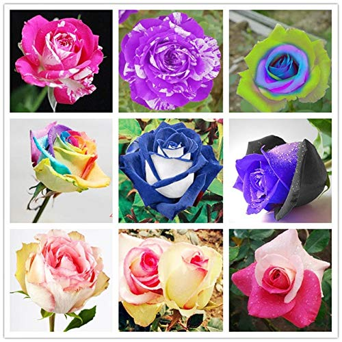 GETSO 100 PC/Bag Regenbogen Rose Bonsai Immortelle rosaceous Rose Pflanze seltene Regenbogen Rose Pflanze Gartendekoration Blumen Innen: Mix