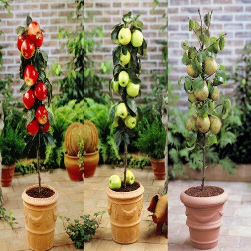 Zwergbaum Kollektion * Apfel rot, Birne,...