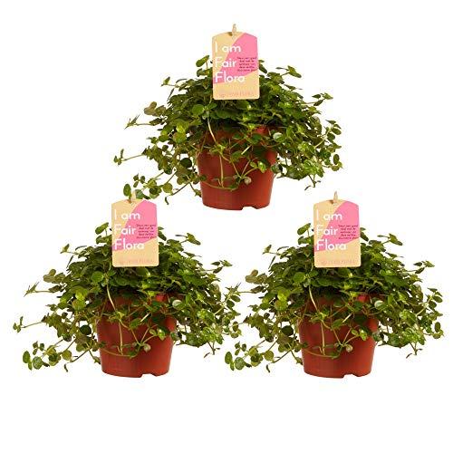 Choice of Green - Lot de 3 Pilea Depressa Sao Paulo - Plante d'intérieur dans un pot de croissance ? 12 cm - Hauteur ? 15 cm - Qualité de Hollande - Frais du cultivateur