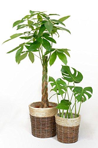 観葉植物 8号+6号セット パキラ8号・ヒメモンステラ6号