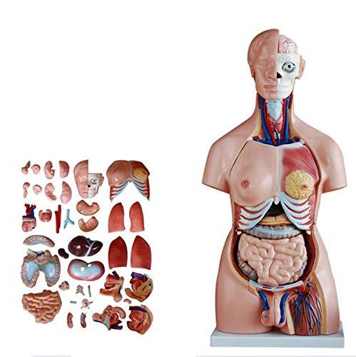 Human Anatomy Model Torso hermafrodita Humano Vísceras 85cm Esqueleto Cuerpo Corazón Cerebro Conjunto Modelo Laboratorio Adorno Recursos de Aprendizaje