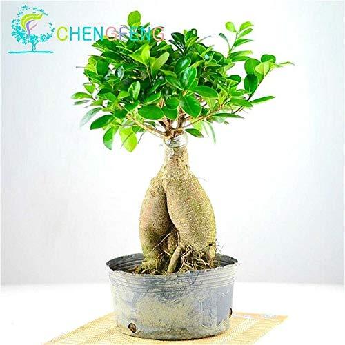 Samen-Paket: 50pcs / Bag Banyan Samen Bonsai Seed Ficus Ginseng DIY Hausgarten sät Samen Grüne Seed Seas IndoorSeeder Seed: Clear