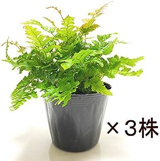 (株)赤塚植物園 ④ 若葉が赤く染まる美しい日本のシダ ベニシダ 3株セット