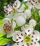 Gemeiner Weißdorn Crataegus oxyacantha 20 Samen