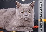 Britisch Kurzhaar Katzen (Wandkalender 2019 DIN A4 quer): Portrait der wundervollen Britisch Kurzhaar Katzen (Monatskalender, 14 Seiten ) (CALVENDO Tiere)