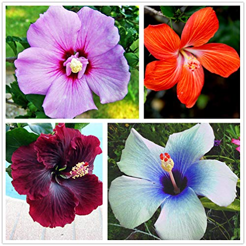 Rosa Sinensis Flower Seeds Tree Hibiscus syriacus Seeds - 100 pcs Seeds, Mix Color,Garden Gift