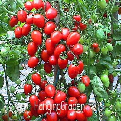 HONIC ! Neue Ankunft Schokolade Black Tomato Bonsai, Topf Bio-Gemüse Tomatenpflanze für Hausgärten-100 PCS/Pack, 5ISJYA: 6