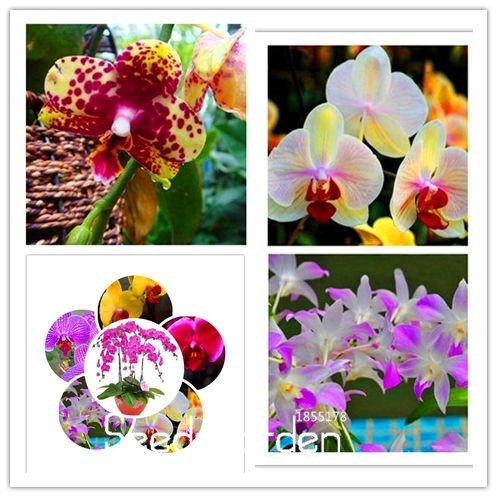 20 Types Graines vivaces Orchidée Phalaenopsis Fleur, 10 graines / Pack, Rare Seeds Butterfly Orchid, # UNYWLG