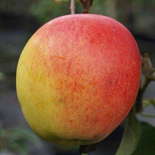 Apfelbaum Rebella mehrfach resistenter Herbstapfel Buschbaum ca. 120-150 cm 9,5 Liter Topf M 26