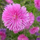 crisantemo cina aster semi 30 pz carzy facile da coltivare semi di fiori da giardino all'aperto annuali callistephus chinensis rosa (rosa)
