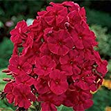 Fragrant Red Phlox Flower Seeds - Shade...